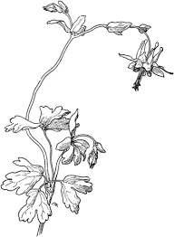 Click To See Printable Version Of Aquilegia Truncata Red Columbine Coloring Page
