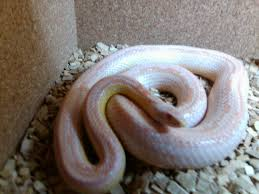 Corn Snake Shedding Time by Corn Snake Opal But What Pattern Ians Vivarium