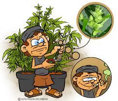 recolte cannabis exterieur date cannabis et hermaphrodisme du growshop alchimia