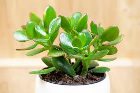 9 zimmerpflanzen die glück bringen sollen myhomebook