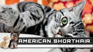 shorthair cat price american shorthair cat breed overview facts traits and
