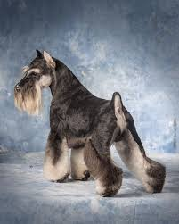 Do Giant Schnauzer Dogs Shed Hair by 113 Best Schnauzer Images On Pinterest Miniature Schnauzer Mini