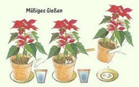 weihnachtsstern pflege der pflanze pflanzenfreunde