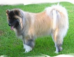 Do Akitas Shed Hair by Akita Dog Breed Information And Pictures