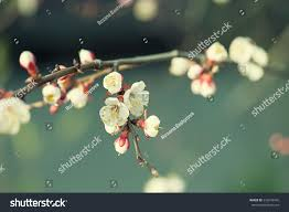 Apricot Tree Flower With Buds Blooming At Sptingtime Vintage Retro Floral Background