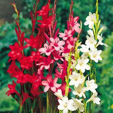 watsonia bugle bulb mix groworganic