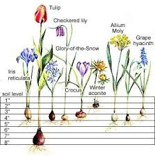 step by step bulb planting guide flowering bulbs