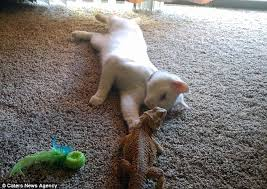 cat and bearded dragon love taking naps together after forming an