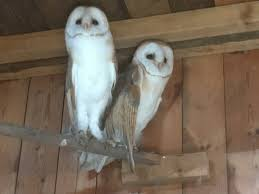 RUBOP - Rushcliffe Barn Owl Project. Blog Page Common Barnowl Tyto Alba Two Juvenile Common Barn Owls At The Pramo Clothing Owling In Owls Glenn County Resource Cservation District Barn Owl Nest Box Nhbs Wildlife Shop Gardening For Birds All About Nesting Logs And Boxes Hecker Nursery Triangular Girl Scout Gold Award Benefits Birds Burroughs Audubon Society Boxes Hungry Project Bbook Mount Gravatt Environment Group Wiggly Wigglers Duhallow Raptor Plans Vip
