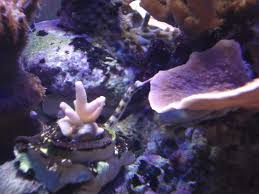 Decorator Crab Tank Mates by Dragon Face Pipefish Show Off Archive Reef Central Online