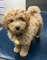 Do F1 Sheepadoodles Shed by Mini F1b Goldendoodle 9 Weeks Mini Goldendoodle Pinterest