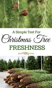 Balsam Christmas Tree Care by How To Care For A Fresh Christmas Tree