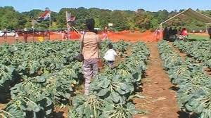 Pumpkin Picking Nj Colts Neck by Pick Your Own Brussel Sprouts Of Eastmont Orchards Picture Of