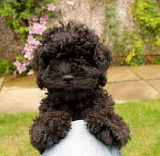 Do Cavapoos Shed A Lot by Cavapoo Full Grown Black And White Google Search Pup