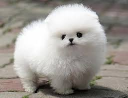 Dog Breeds That Dont Shed by Small Dog Breeds That Don T Shed Small Dog Breeds Puppies Small