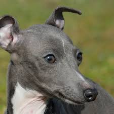 Do Italian Greyhounds Shed A Lot by Italian Greyhound Puppy U0026 Italian Greyhound Breed Information