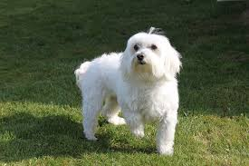 Cute Non Shedding Dog Breeds by 5 Cute Small Hypoallergenic Dogs That Don U0027t Shed Dogvills