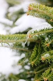 Christmas Tree Farm Lincoln Nebraska by 15 Best Beautiful Real Trees Images On Pinterest Christmas Decor
