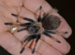 Do Tarantulas Shed Their Legs by May 2013 Things Biological