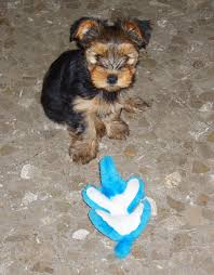 Do Morkies Shed A Lot by Mini Designer Breed Dogs Dog Breeds Puppies Designer Breed Dogs