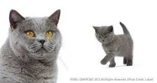 shorthair cat price shorthair cat breed profile petplanet co uk