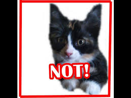 service cats cats are not service animals q a 12