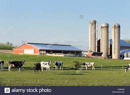 Dairy farm with Holstein cows in pasture and three silos in