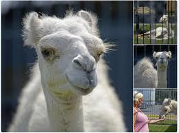Tiger Truck Stop Now Houses Casper, A Young White Camel