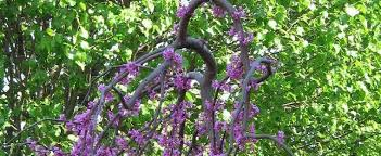 Weeping Redbud Eastern Canadian Judas Tree Cercis
