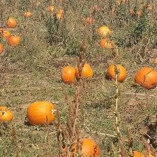 Mccalls Pumpkin Patch Application 2017 by Karla Arvizu Karlakakes78 Twitter