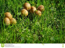 Wild Mushrooms On The Lawn Stock Photo. Image Of Lawn - 73113686 Massive Mushrooms Perennial Garden Lover Soilduck Fanciful Fungi 3 Truffles In Your Backyard Backyards Amazing Edible Plants Scotch Bonnet Lawn Mushroom Youtube Free Images Nature Forest Backyard Leaves Fungus Mushrooms Identify These Back Yard Edible Hunting And How To Grow Get Rid Of The Yard Southern Living Mrgola Murga Morilla O Rabassola Morchella Rotunda Seta Fall For Wild Missouri Department Cservation Stop Bagging Lawn Nonblooming Irises Nh Notes A Diverse Array Naturalis