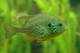 Pumpkin Seed Sunfish Pictures by Sunfish Wiktionary