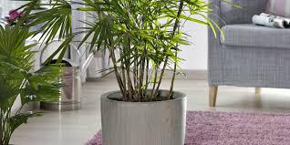 l entretien d un palmier intérieur