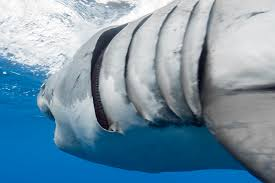 Gill filaments great white shark A close up look at the …