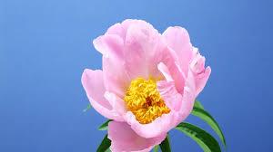 fleur floraison accéléré 2k stock 103 413 803