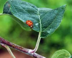 Christmas Tree Has Aphids by Natural Enemies Biological Control In Orchards