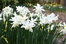mini daffodil thalia dutchgrown