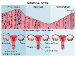 Uterus Lining Shedding Period by 12 Uterine Wall Shedding During Menstruation Overview For