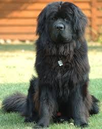 Large Dogs That Dont Shed by Large Dog Breeds That Don T Shed Dog Breeds Puppies
