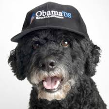 Portuguese Water Dog Non Shedding by Counter Surfing Dog For The New White House Pet Nature U0027s Crusaders