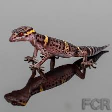 Halloween Pinstripe Crested Gecko by Chinese Cave Gecko For Sale Goniurosaurus Luii Upcoming