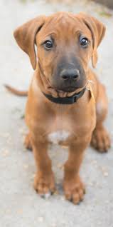 Rhodesian Ridgeback Puppy Shedding by 423 Best Wish List Images On Pinterest