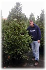 Potted Christmas Trees For Sale by Rent Live Christmas Tree San Francisco San Jose Santa Cruz Los Gatos