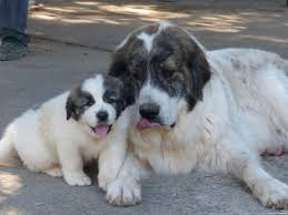 Great Pyrenees Excessive Shedding by 72 Best Pyrenean Mastiff Images On Pinterest Pyrenean Mastiff