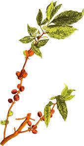 Coffee Bean Arabic Arabica Plants