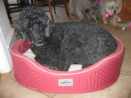 Kirkland Dog Beds by Furniture Round Costco Dog Beds In Black With Comfy Foam For Pet