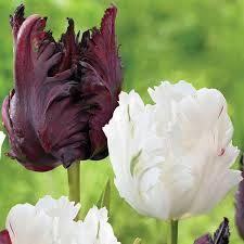 tulip black parrot longfield gardens