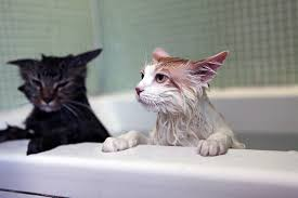 bathing cats you thought why cats afraid of or water petsfans