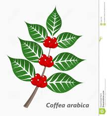 Coffee Plant Stock Vector Illustration Of Leaves Ripe