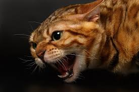 aggressive cat aggression in cats pet care facts